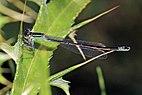 Blue-tailed damselfly (Ischnura elegans) female Bulgaria.jpg
