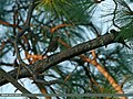 Blue Rock Thrush (Monticola solitarius) (20063873053).jpg