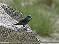 Blue Rock Thrush (Monticola solitarius) (32980221886).jpg
