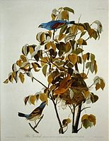 Blue Grosbeak in Birds of America