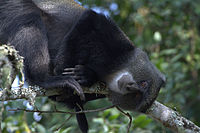 Blue monkey relaxing.jpg