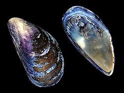 Blue mussel (Mytilus edulis) shell.jpg