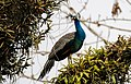Blue peafowl (Pavo cristatus) (89).jpg