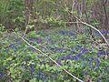 Bluebells in Hollybush Wood, Standen.JPG