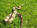 Boa constrictor constrictor guyana.JPG