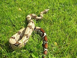 Boa constrictor - B. c. constrictor