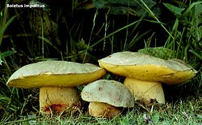 borowik płowy (Hemileccinum impolitum)