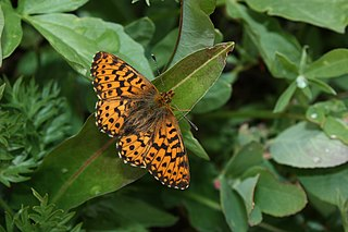 <i>Boloria chariclea</i> species of insect