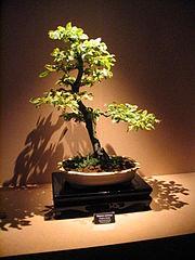 Bonsai IMG 6426.jpg