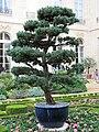 Bonsai géant dans les jardins de l'Élysée.jpg
