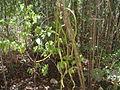 Bosque Guánica.JPG