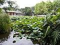 Botanical Garden Lotus - panoramio.jpg