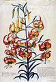 Botanical illustration of Lilium superbum.jpg