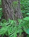 Botrypus virginianus (rattlesnake fern) (Natural Bridge State Park, northeast of Leland, Wisconsin, USA) 6 (18910038650).jpg
