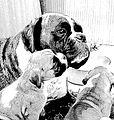 Boxerhunde 3.jpg