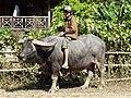 Boy with Buffalo - Outside Hsipaw - Myanmar (Burma) - 01 (12226477274).jpg