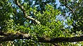 Branches of a common alder in Holma.jpg