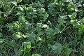 Brassica rapa var. rapa (03).jpg