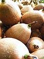 Breadnut 1.jpg