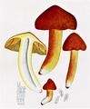 Bresadola - Hygrophorus puniceus.png