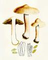 Bresadola - Inocybe Patouillardi.png