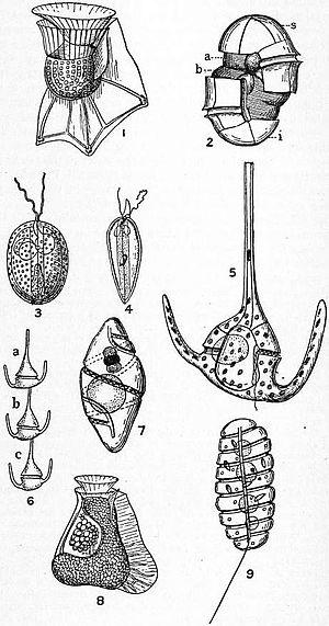 Dinoflagellate - 1. Ornithocercus; 2. diagram; 3. Exuviaeella; 4. Prorocentrum; 5, 6. Ceratium; 7. Pouchetia; 8. Citharistes; 9. Polykrikos