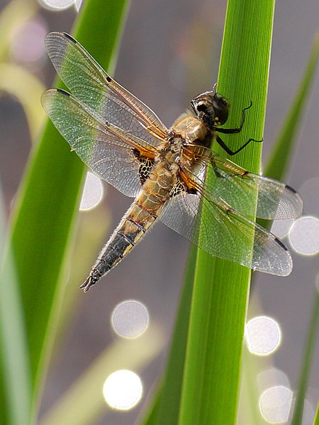File:Broad-bodied Chaser (1).jpg