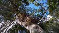 Bromélia, sobre a árvore encontrada na Mata Cipó, derivação de Mata Atlântica-Ba.jpg