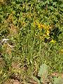Bromus carinatus (3811051189).jpg