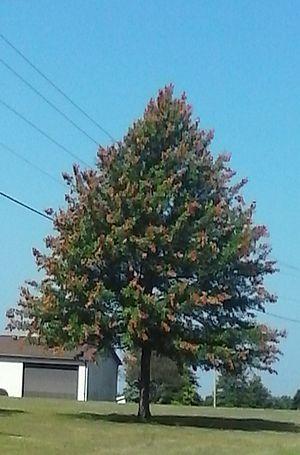 Brood V - tree damage in Ohio in 2016