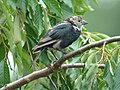 Brown-headed Cowbird (molting juvenile male) (5429397783).jpg