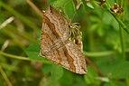 Brown Butterfly (05).jpg