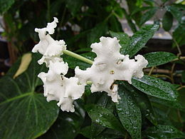 Brunfelsia undulata1MTFL