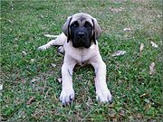 Mastiff puppies require a carefully watched diet due to their very rapid growth.
