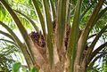 Buah kelapa sawit (50).JPG