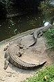 Buaya muara Crocodylus porosus Bandung Zoo 2.jpg