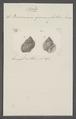 Buccinum gemmulatum - - Print - Iconographia Zoologica - Special Collections University of Amsterdam - UBAINV0274 085 07 0015.tif