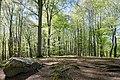 Buchenwald im Nationalpark Jasmund 02.jpg