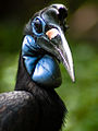 Bucorvus abyssinicus (female) -Fort Worth Zoo-8a.jpg