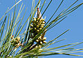 Buds of Turkish pine 02.jpg