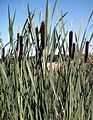 Bullrushes - River Roach - geograph.org.uk - 503684.jpg