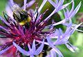 Bumblebee Gathering Nectar On A Flower. Hampshire UK.jpg