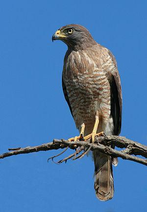 A Roadside Hawk (Buteo magnirostris) perched in a tree in Goiás, Brazil.