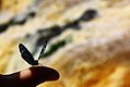 Butterfly - Borboleta - Salto Monday - Paraguay (24277782665).jpg