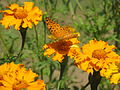 Butterfly in Uttarakhand, India (6).JPG