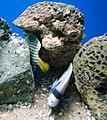 Cá hoàng hậu đuôi vàng (con đang chui trong hốc).jpg