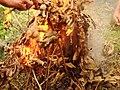 Cá lóc đồng nướng trui 2.jpg