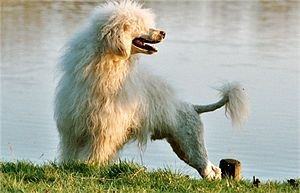 Coat (dog) - The Portuguese Water Dog is an example of a breed with single, low-shedding coat.
