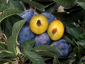 Genetically modified food - Plums genetically engineered for resistance to plum pox, a disease carried by aphids.