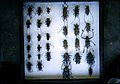 CSIRO ScienceImage 1332 Pinned Insect Specimens.jpg